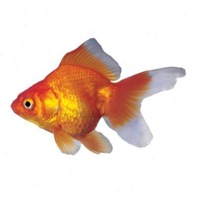 Ryukin Goldfish Raising And Care Knowledge Base Lookseek Com