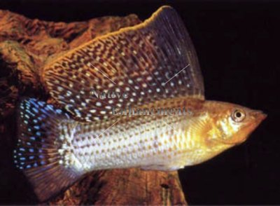 Molly Poecilia Sailfin Molly is a Poecilia