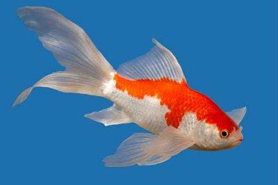 Comet Goldfish - Knowledge Base LookSeek.com