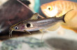 Sun Catfish (Horabagrus brachysoma)