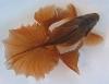 Tosakin Pond Goldfish