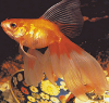 Veiltail Goldfish Raising and Care