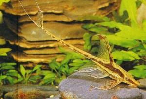 Whiptail Catfish (Farlowella gracilis) - Knowledge Base LookSeek.com