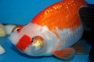 Celestial Eye Goldfish Raising And Care Knowledge Base Lookseek Com