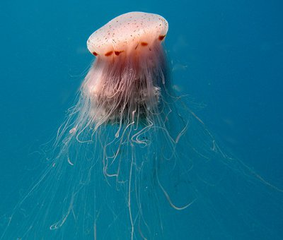Worlds largest species of jellyfish . The lions mane ... |Longest Jellyfish Ever Recorded