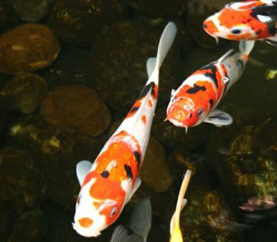 Koi fish knowledge base for Japanese koi carp fish