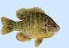 Pumpkinseed Sunfish Fish