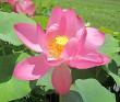 Caspicum (Russian Red) Lotus