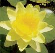 Chromatella Water Lily