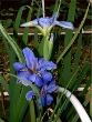 Clyde Redmond Wedgewood Blue Louisiana Irish