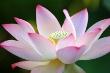 First Lady Lotus