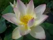 Green Maiden Lotus