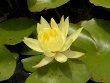 Mexicana Lily