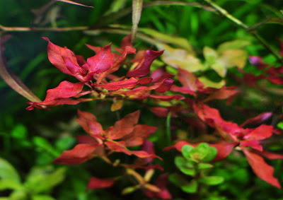 Ludwigia repens super red