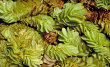 Salvina Plant