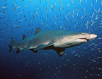 Sand sharks knowledge base lookseek facts about sand sharks scientific name for sand sharkis carcharias taurus sand sharks belong to the family of odontaspididae the sand sharks are found publicscrutiny Image collections