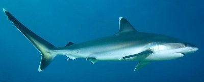 Silvertip Shark - Knowledge Base LookSeek.com