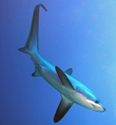 Thresher Shark - Knowledge Base LookSeek.com