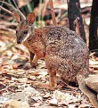 Dorcopsis Wallabies