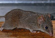 False Antechinus