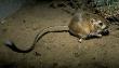 Rat-Kangaroo