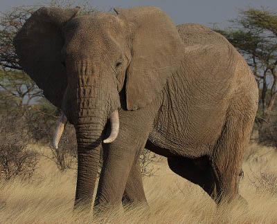proboscidea elephants knowledge base lookseekcom