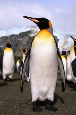 King Penguin - Knowledge Base LookSeek.com