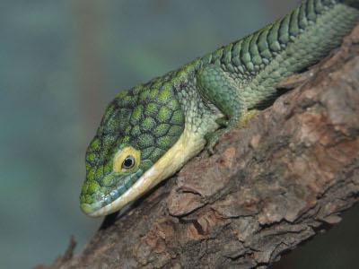 Alligator lizard diet