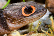 New Guinea Crocodile Skink