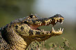 Spectacled Caiman Crocodilian
