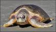 Sea turtles Nesting Behaviors