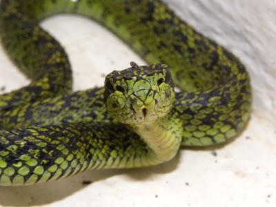 Black-speckled Palm-pitviper Snake - Knowledge Base LookSeek com
