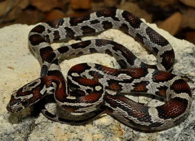 corn snake knowledge base lookseek com