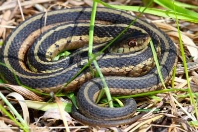 garter snake knowledge base lookseek com