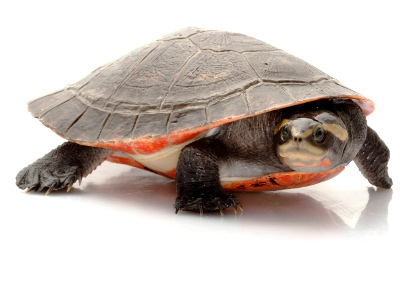 Red Bellied Short Necked Turtle Red Bellied Short Necked