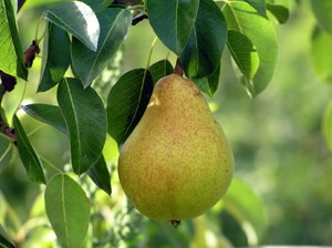 The Kieffer Pear Tree Is An Oriental Fruit That A Hybrid Between Chinese And European Sand With Large Yellow